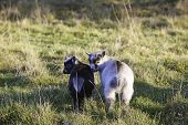 pic of pygmy goat  - Two adorable baby pygmy goats side by side - JPG