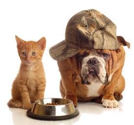 picture of cat dog  - english bulldog and orange kitten sitting at food dish - JPG