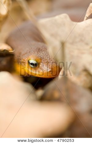 California Newt Peeking Through Oak Leaves