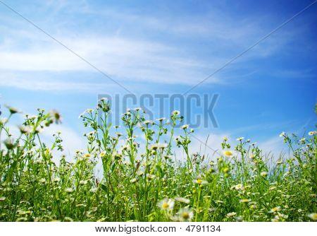 Camomiles Field