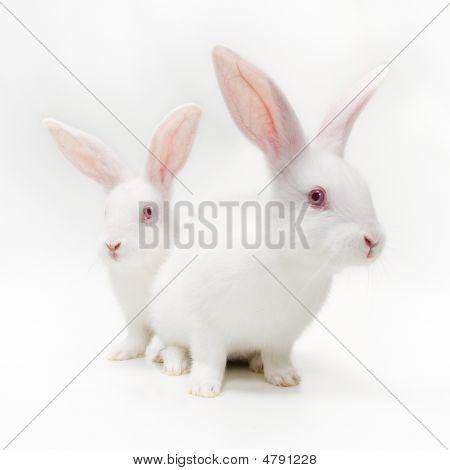 Weiße Kaninchen