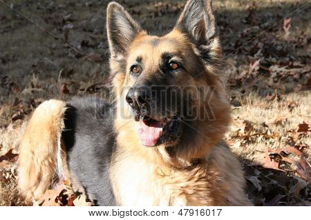 German Shepherd in the Fall