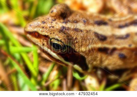 Bog frog - Rana arvalis