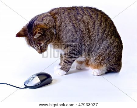 Cat Wainting For Computer Mouse To Move