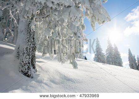 Sol y pino