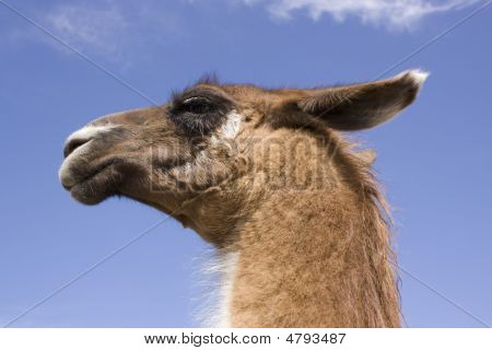 Llama Head Against Blue Sky