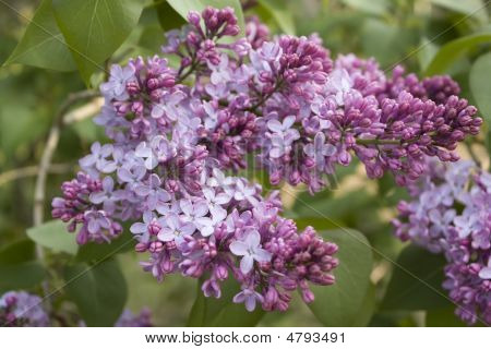Purple Lilac Flower In Spring