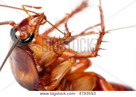 Death Cockroach