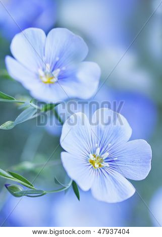 Blue Flax Flowers