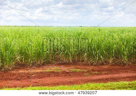 Zuckerrohrplantage in Kuba