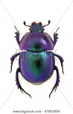 Blue dung beetle Trypocopris vernalis