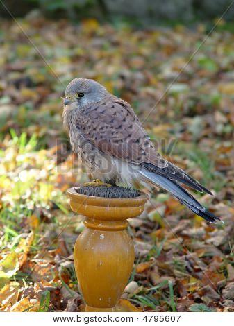 Kestrel Falco