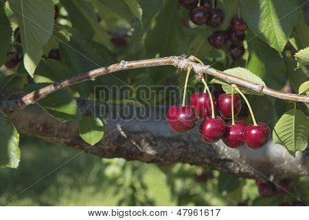 Sweet Bing Cherries On Tree