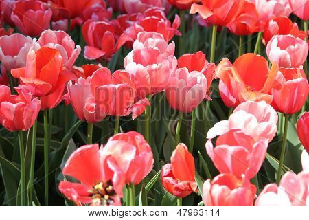 Colorful close up of Spring Time Tulip Flowers