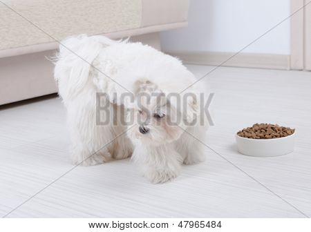 Little dog maltese refusing eating his food from a bowl in home