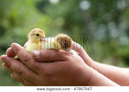 Zwei Entenküken
