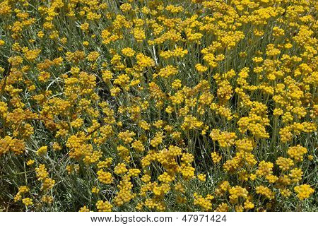 Helichrysum Stoechas In Bloom.