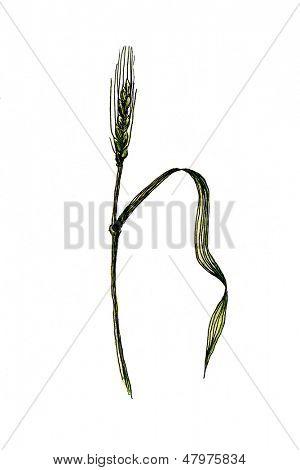 Watercolor wheat, green spica