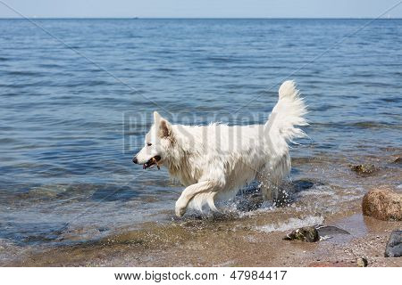 White Swiss Shepherd Retrieving A Branch Out Of The Water