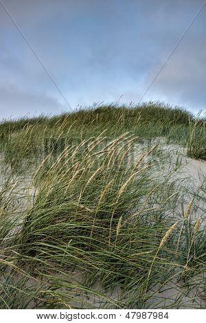 Grass On A White Sand Dunes Beach In Denmark