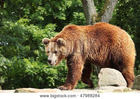 Ursus arctos
