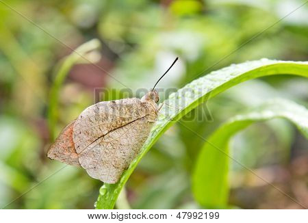 Closeup of Mottled Emigrant Butterfly of Singapore