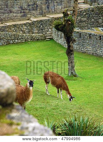 Two alpacas grazing at Machu Picchu