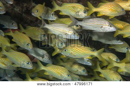 An Atlantic Ocean Species Of Fish