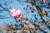 picture of japanese magnolia  - A pink and purple japanese magnolia blossom in the spring against a blue sky - JPG