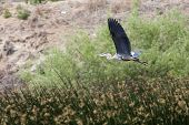 foto of low-necked  - A great blue heron flies low to the ground - JPG