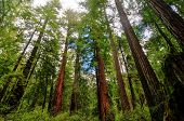 stock photo of redwood forest  - Sequoia Trees in Big Basin Redwoods State Park - JPG
