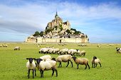 picture of michel  - A flock of sheep on the background Mont Saint Michel abbey - JPG