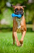 stock photo of toy dog  - german boxer breed dog with a toy - JPG