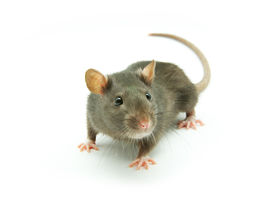 picture of rats  - funny rat isolated on a white background - JPG
