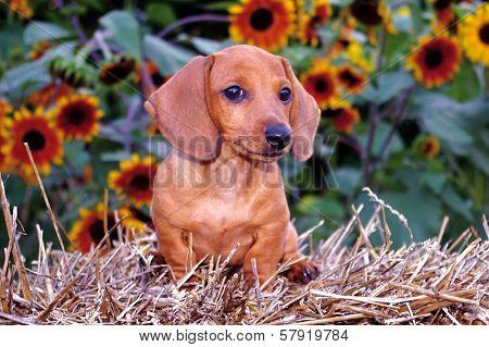 Dachshund Puppy Dog & Sunflowers