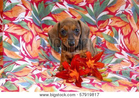 Island Girl Dachshund Puppy