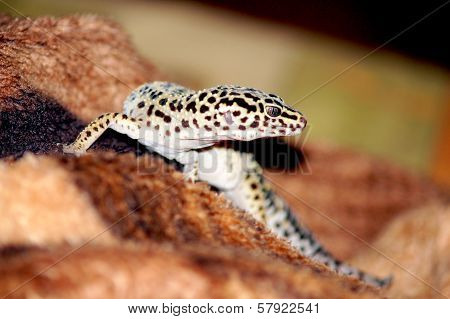 Eublepharis gecko close-up photo