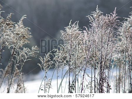Hoarfrost on a plant