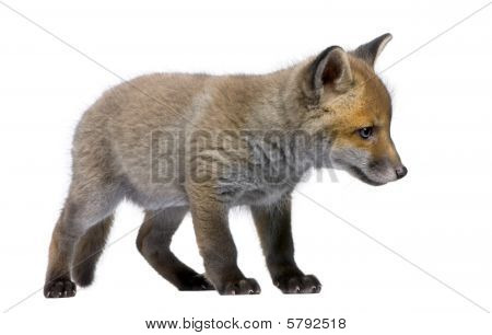 Red Fox Cub, Vulpes Vulpes, 6 Weeks Old, Standing in front of white background, Studio Shot