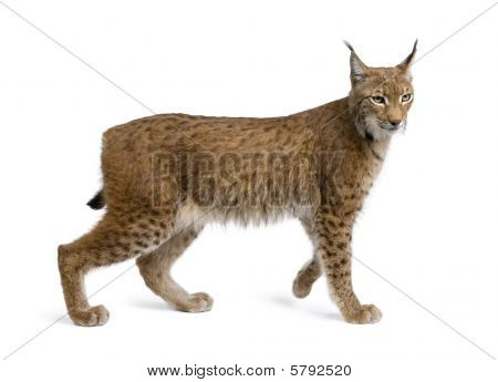 Eurasian Lynx, Lynx Lynx, 5 Years Old, Standing in front of a white background, Studio Shot