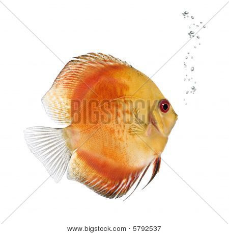 Fire Red Discus Fish, Symphysodon Aequifasciatus, Against white background, Studio Shot