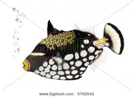 Clown Triggerfish, Balistoides Conspicillum, against white background, Studio Shot