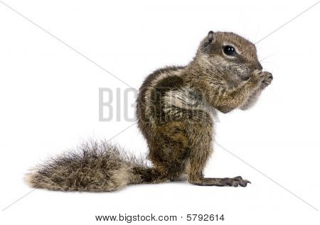 Babary Ground Squirrel, Atlantoxerus Getulus, Standing , Studio Shot