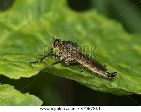 Large Predatory Fly On A Green Leaf