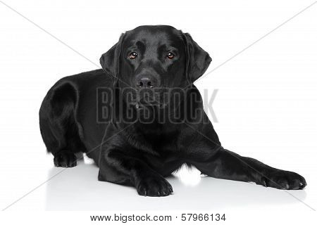 Black Retriever Dog