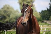 image of bay horse  - Beautiful bay latvian breed horse portrait on sunny day