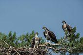 pic of osprey  - Osprey family sitting in the nest in Finland summer 2013  - JPG