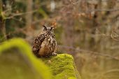 stock photo of snow owl  - Eurasian Eagle Owl standing on rock with moss with hunt down mouse - JPG