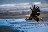 stock photo of fish-eagle  - American Bald Eagle at Anchor Point - JPG