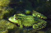 picture of lurch  - Frog portrait Wild dirty frog photo - JPG